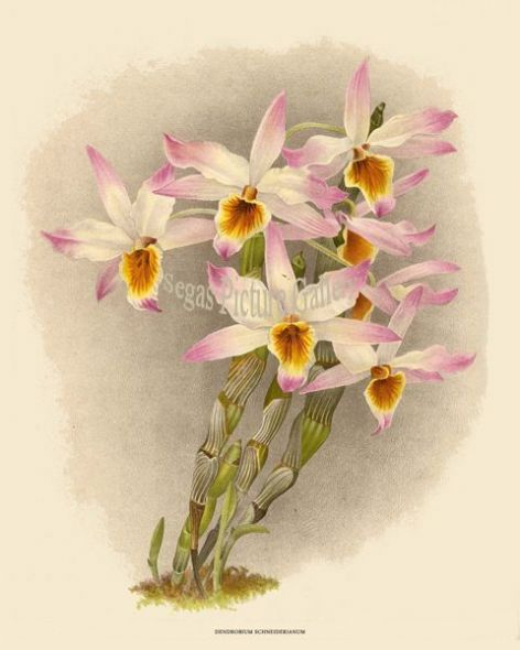 Fine art print of the Orchid Dendrobium Schneiderianum by John Nugent Fitch